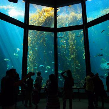 monterey bay aquarium kelp forest fish tank